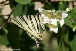 Title: Iphiclides podaliriusSony SLT a77