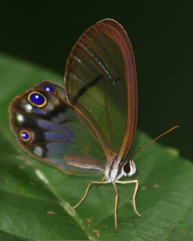 Clearwing Brushfooted Butterfly