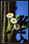 Title: Saguaro flower Camera: Minolta HT-SI