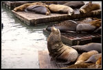 Title: California Sea Lions