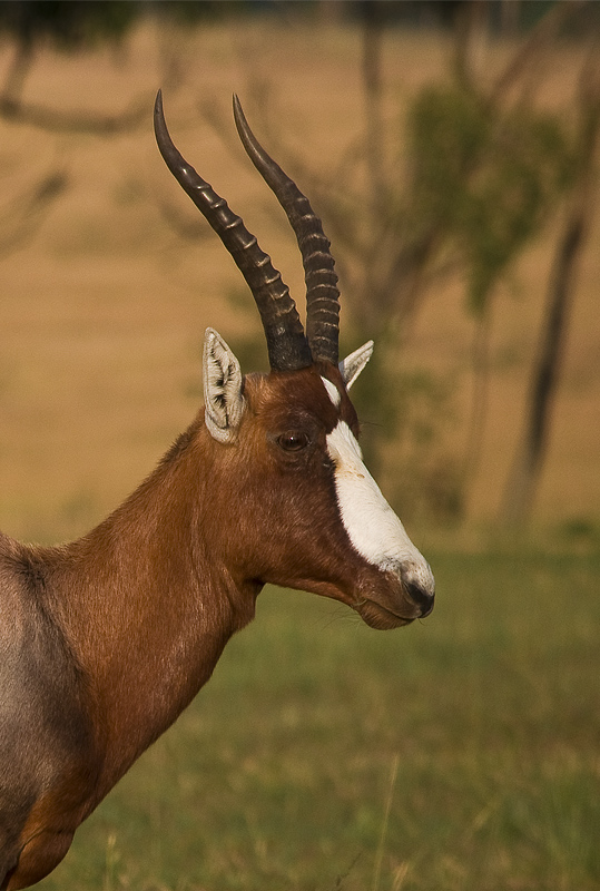 Blesbok Photos