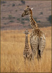 Title: Giraffe with young