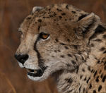 Title: Cheetah Portrait