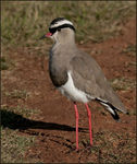 Title: Crowned Lapwing
