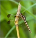 Title: Pied Paddy Skimmer Female