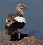 Title: Egyptian Goose