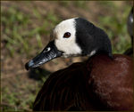 Title: White Faced Whistling Duck