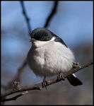Title: Fiscal Flycatcher
