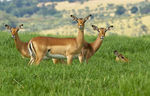 Title: Impala Females