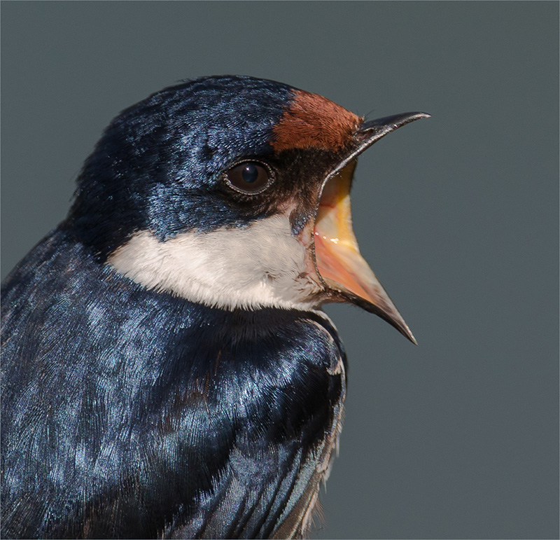 Swifty Swallow