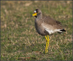 Title: Wattled Plover