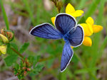 Title: The Silver-studded Blue