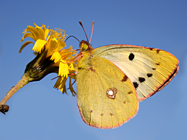 Butterfly- Clouded Yellow (COLIAS HYALE)
