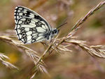 Title: The Marbled White