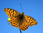 Title: The Queen of Spain Fritillary