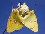 Title: Clouded Yellow-Colias crocea