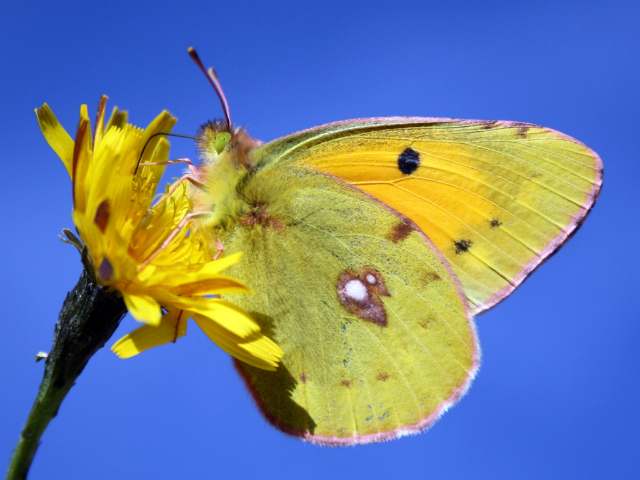 Butterfly-Clouded Yellow(COLIAS CROCEA)