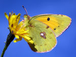 Title: Butterfly-Clouded Yellow(COLIAS CROCEA)