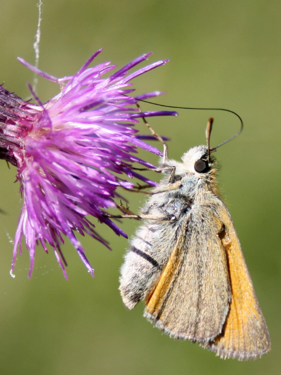 The Essex Skipper