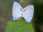 Title: Short Tailed Blue