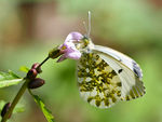 Title: Butterfly orange tip -Female