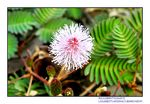 Title: Mimosa pudica