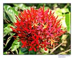 Title: red flower-rongon