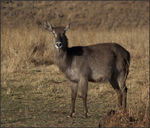Title: Female Waterbuck