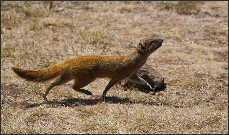 South African Mongoose