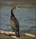 Title: White-breasted Cormorant