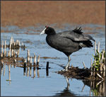 Title: Red-knobbed Coot