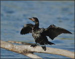 Title: Reed Cormorant