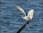 Title: Whiskered Tern
