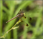 Title: Pied Paddy Skimmer [Female]