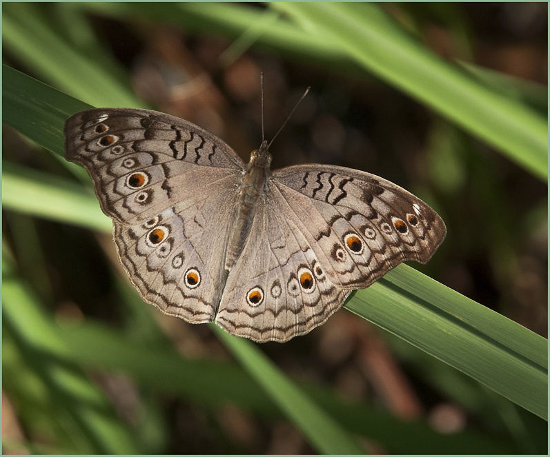 The Gray Pansy