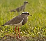 Title: The Crowned Lapwing