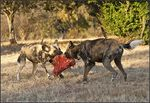 Title: African Wild Dogs
