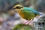 Title: Bar bellied Pitta (female)