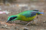 Title: Bar bellied Pitta (male)