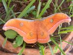 Title: chinese silk moth
