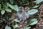Title: Crab-eating Macaques