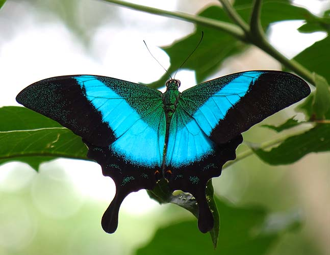 The Malabar Banded Peacock (Papilio budd
