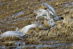 Title: Sandhill Cranes fighting