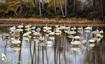 Title: Whooper Swans