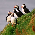 Title: Puffins