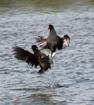 Title: Fighting Moorhens