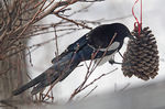 Title: Magpie at Feeder