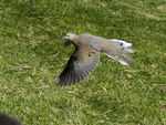 Title: Morning Dove In Flight