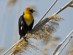 Title: Golden Headed Black Bird