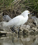 Title: Another Egret